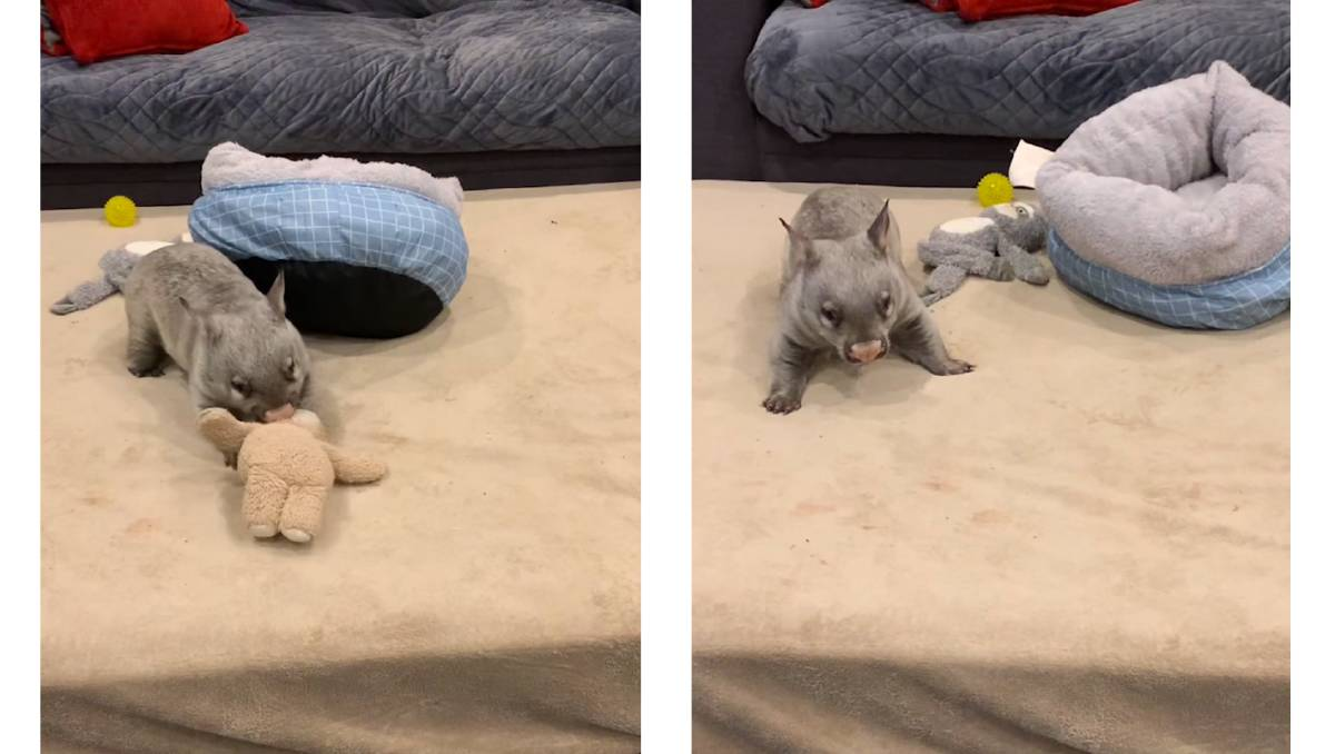 Orphaned wombat joey plays like a puppy in a hilarious video