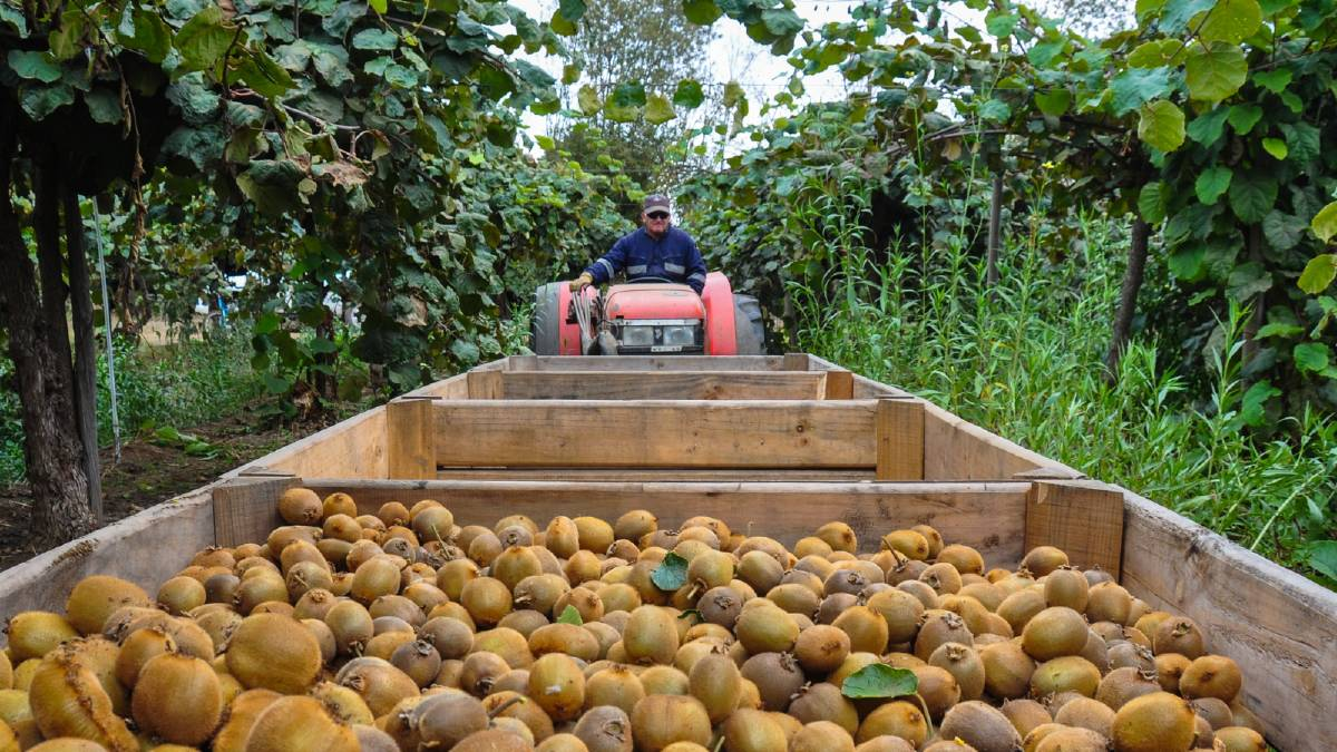 Farmers' back fruit picker plan
