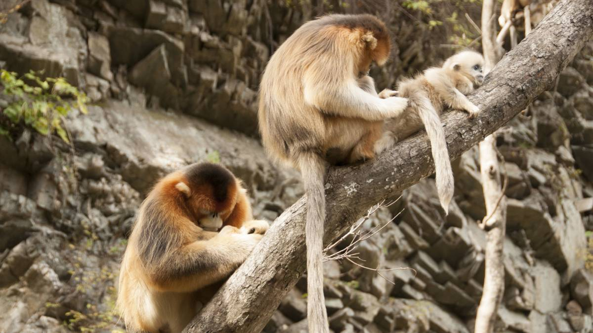These golden snub-nosed monkeys in China need no diet books or computers to select a balanced diet, they do it instinctively, by following their appetites. Picture: David Raubenheimer