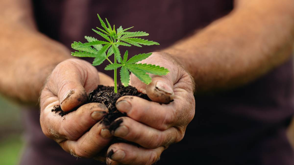 The Australian Criminal Intelligence Commission found cannabis seizures rose by 8 per cent in 2018-19 in the ACT. Picture: Shutterstock
