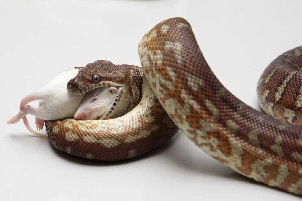 The Only Good Snake Is A Live Snake Canberra Snake Bite Numbers Stay Steady The Canberra Times Canberra Act