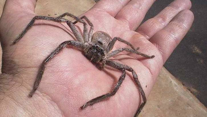 The huntsman spider: Two legs, good; eight legs ... err ... | The Canberra  Times | Canberra, ACT