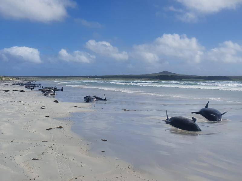 About 100 whales and dolphins have died in a mass stranding on the remote Chatham Islands, off NZ.